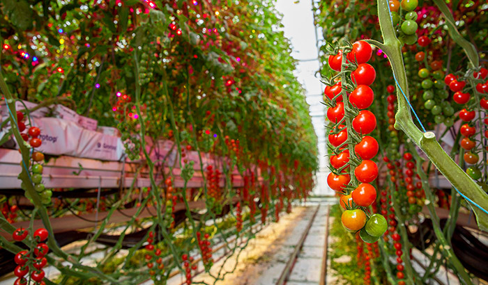 3 reasons why intercanopy lighting is  effective for high-wire vegetables