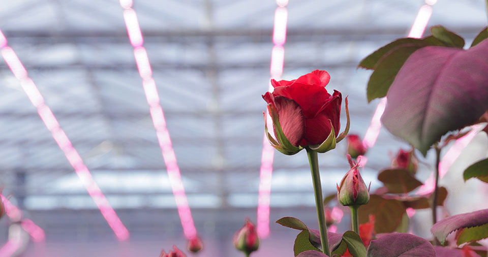 New LED light recipe improves both quality and yield of cut roses
