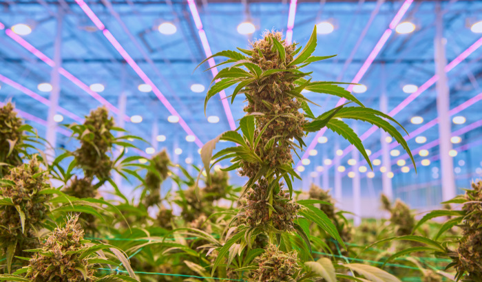 Can you increase yields for medical cannabis with LED lighting?