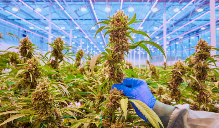 Higher, better quality yield with intercanopy lighting in medical cannabis cultivation